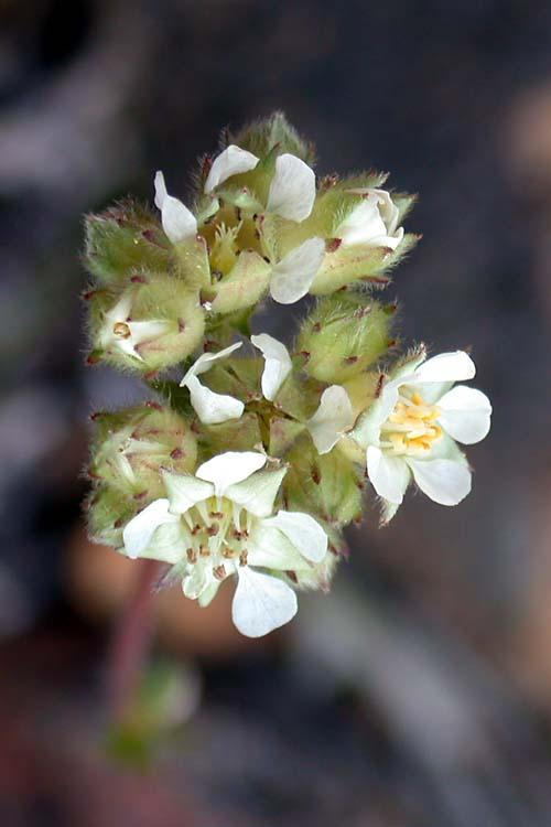 Horkelia congesta ssp. nemorosa