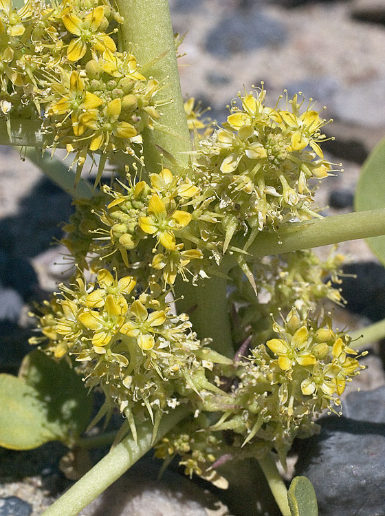 Oxystylis lutea