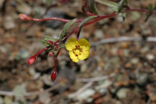 Camissonia benitensis