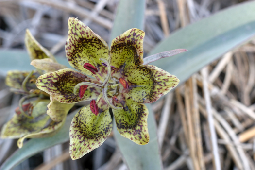Fritillaria falcata