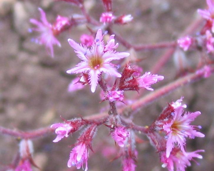 Chorizanthe fimbriata var. fimbriata