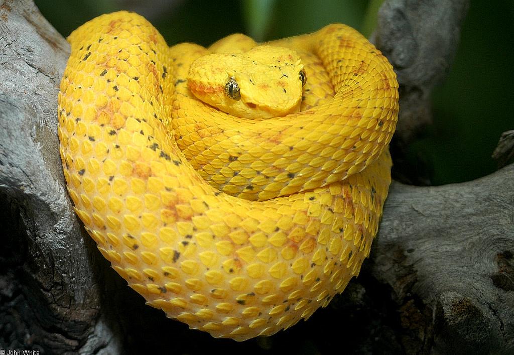 Bothriechis Schlegelii Eyelash Palm Pitviper
