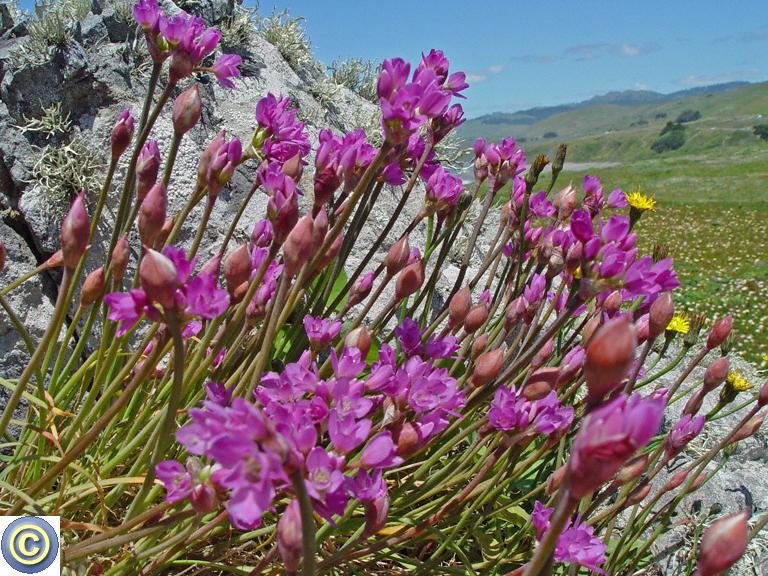 Allium dichlamydeum