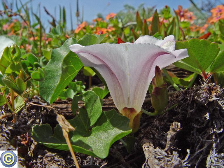 Calystegia purpurata ssp. saxicola