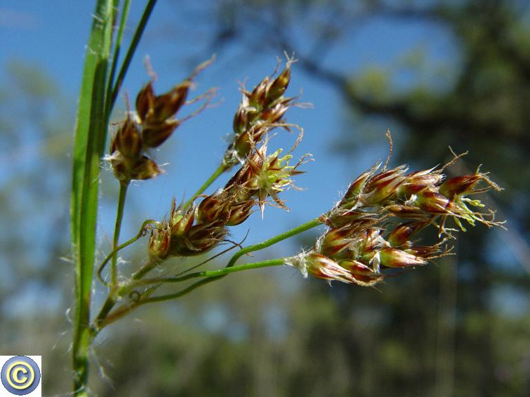 Luzula parviflora