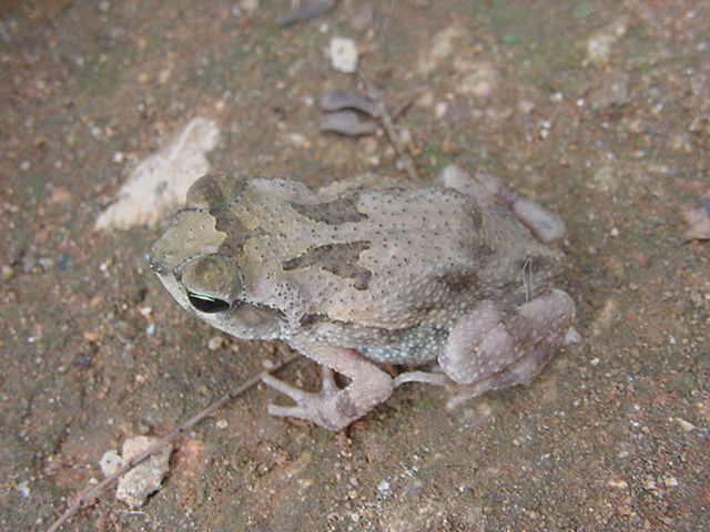 ЭТО  Peltophryne peltocephala ???? 3499