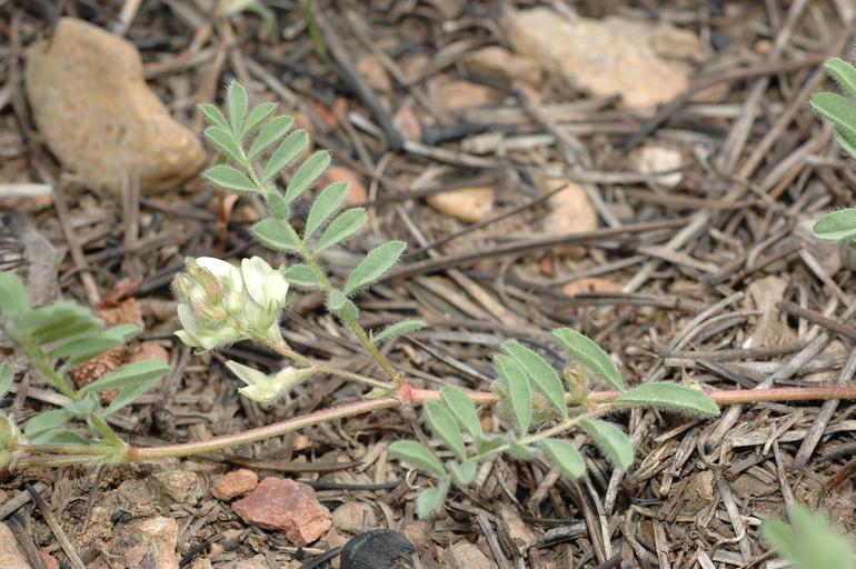 Astragalus lentiformis