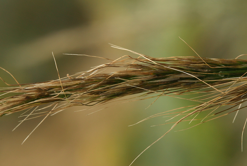 Stipa diegoensis