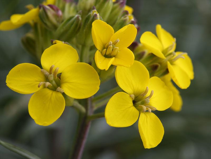 Erysimum insulare ssp. insulare