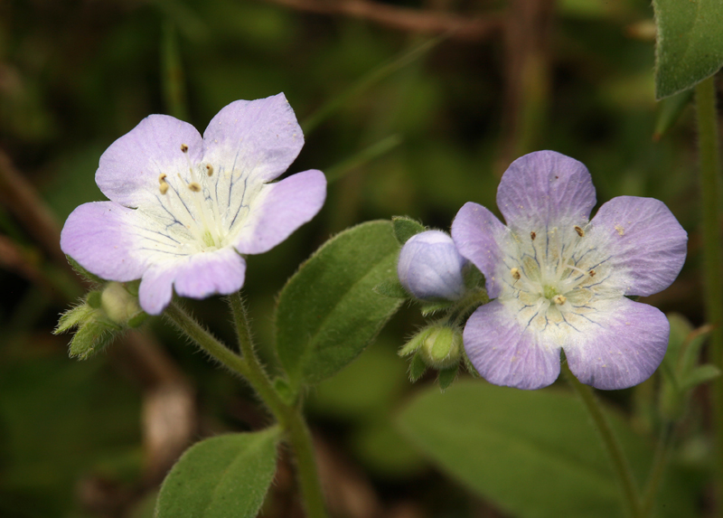 Phacelia insularis var. insularis