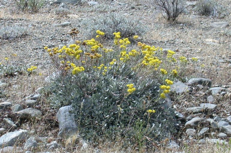 Eriogonum umbellatum var. lautum