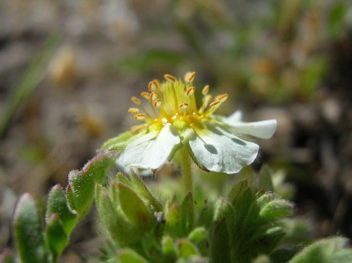 Potentilla newberryi