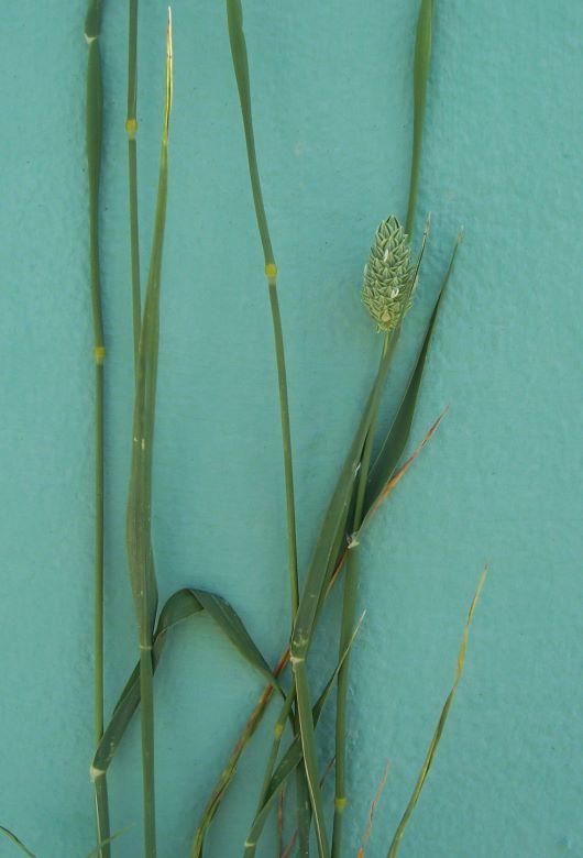 Phalaris brachystachys