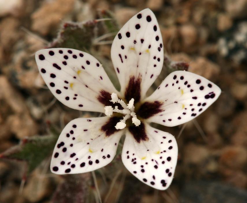 Langloisia setosissima ssp. punctata