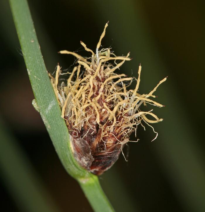 Schoenoplectus pungens var. longispicatus