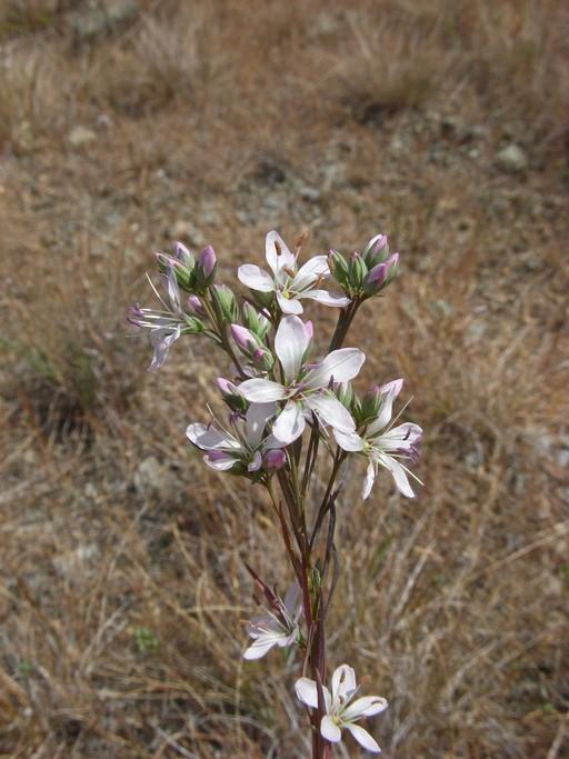 Hesperolinon californicum