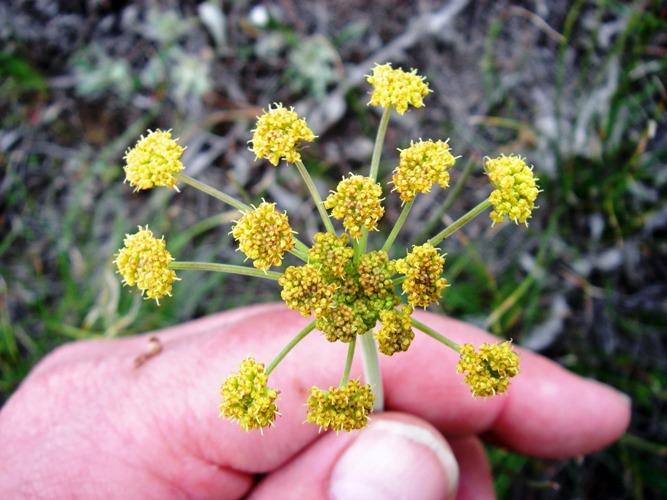 Lomatium triternatum
