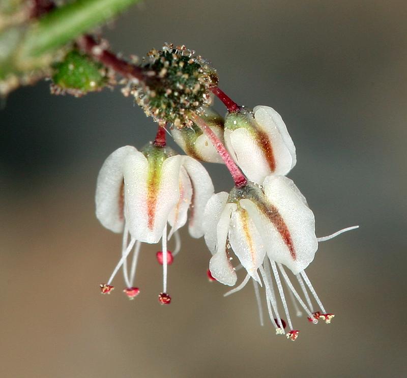 Eriogonum brachypodum
