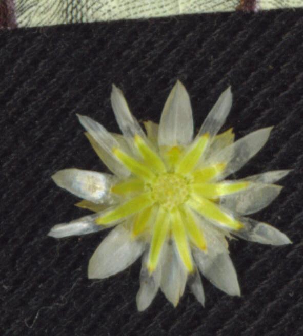 Pseudognaphalium canescens ssp. microcephalum