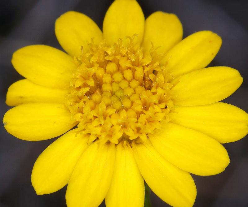 Thymophylla pentachaeta var. belenidium