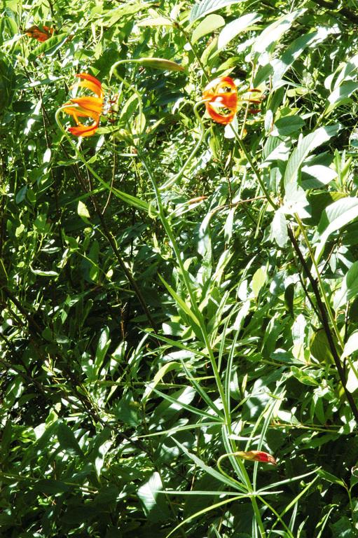 Lilium pardalinum ssp. vollmeri