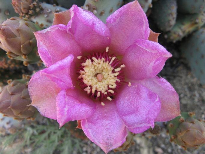 Opuntia basilaris var. brachyclada