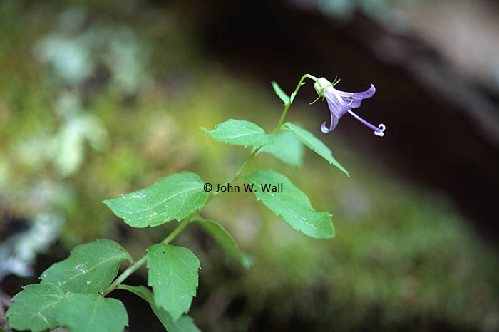 Asyneuma prenanthoides