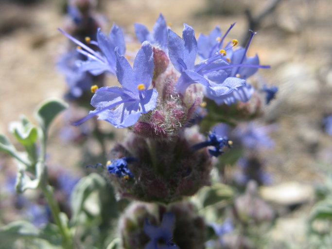 Salvia dorrii var. dorrii