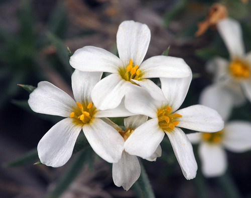 Leptosiphon nuttallii ssp. pubescens