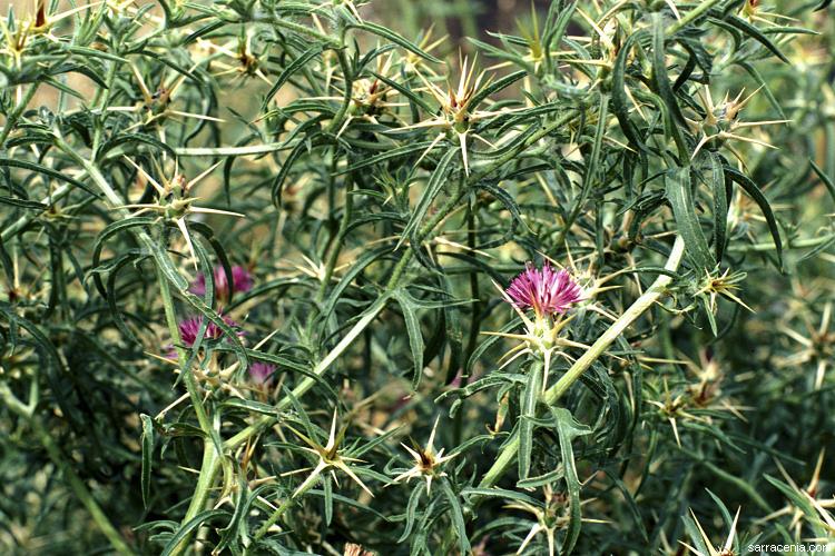 Centaurea image