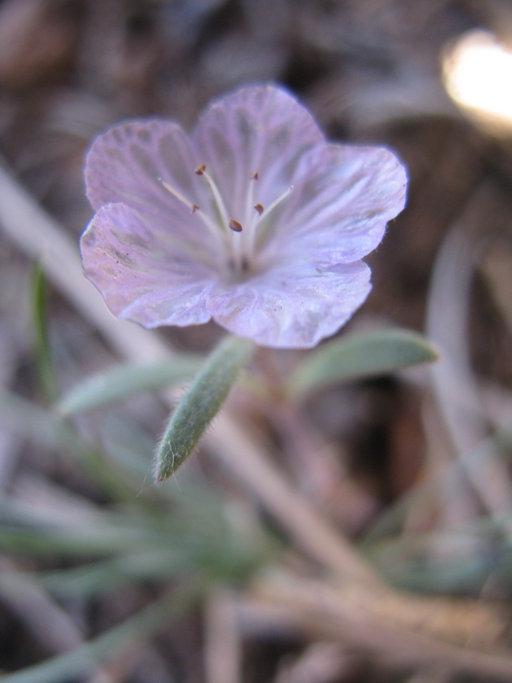 Phacelia exilis