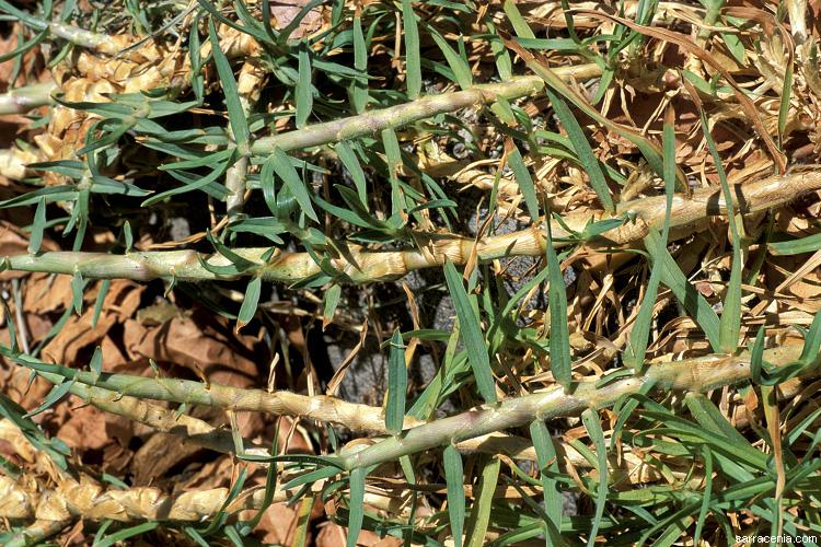 how to kill kikuyu grass
