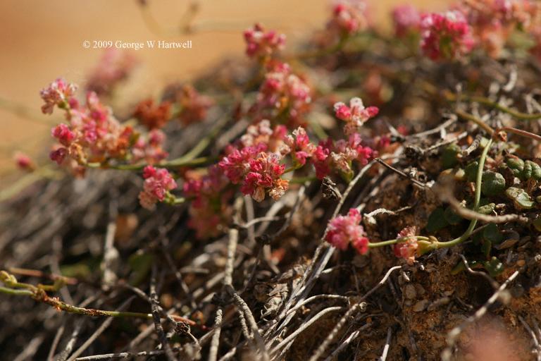 Eriogonum apricum var. prostratum