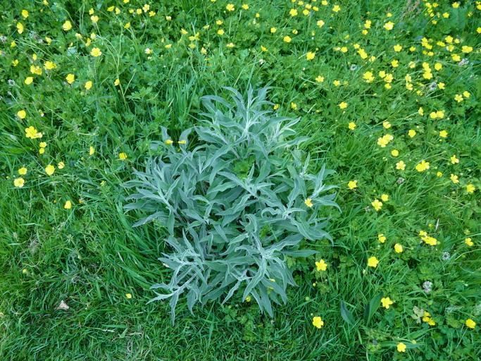 Centaurea jacea ssp. nigra