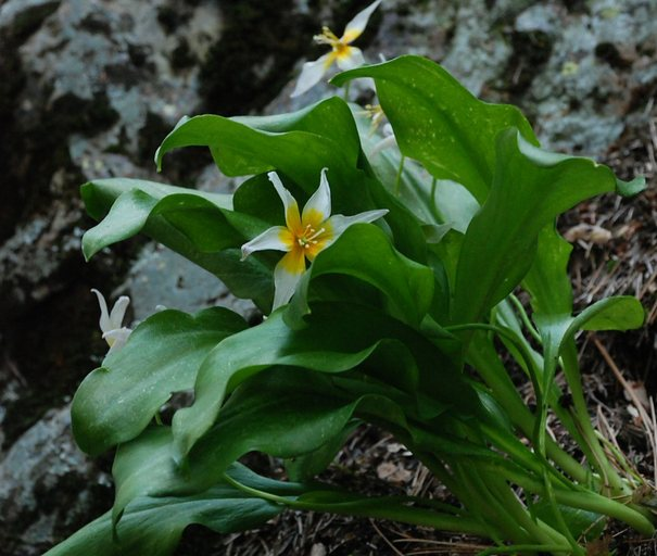 Erythronium taylorii