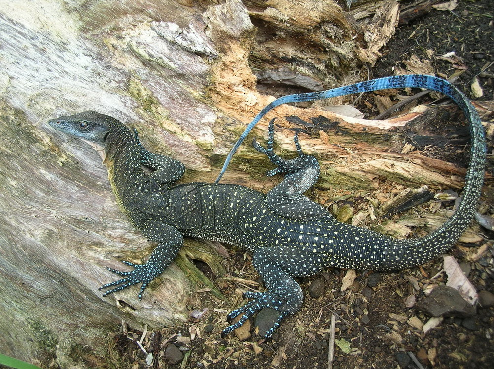 Blue Tail Lizard Poisonous To Cats