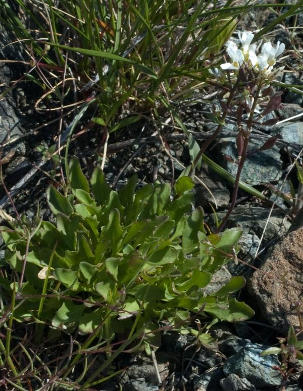 Noccaea fendleri ssp. californica