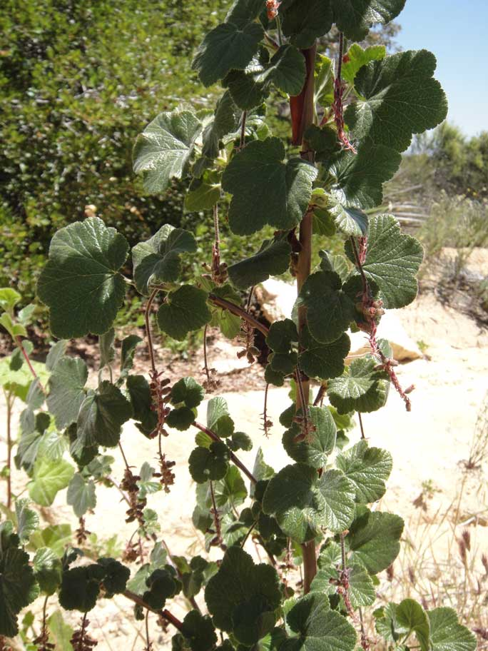Ribes canthariforme