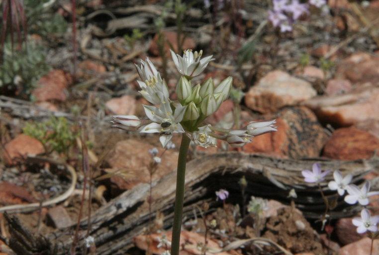 Allium davisiae image
