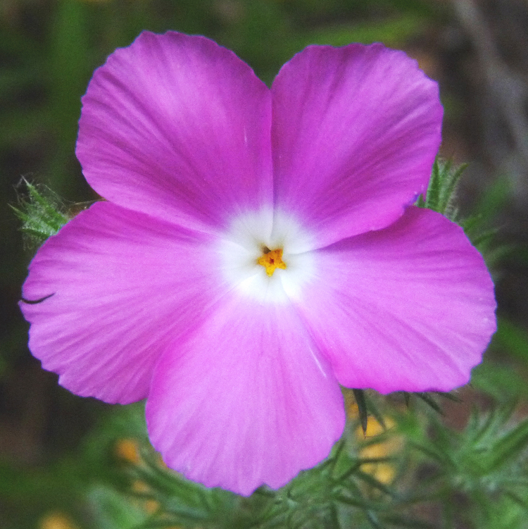Linanthus californicus