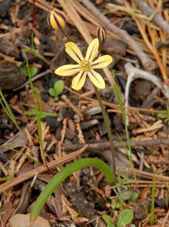 Triteleia ixioides ssp. unifolia
