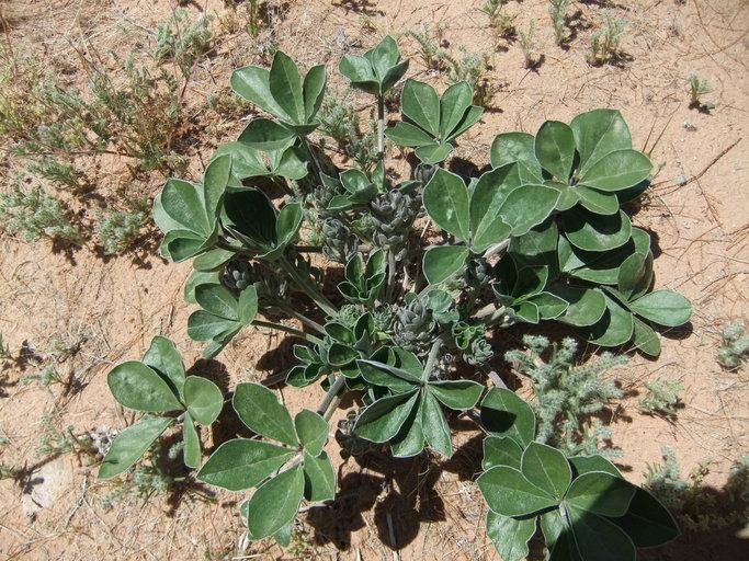 Pediomelum castoreum