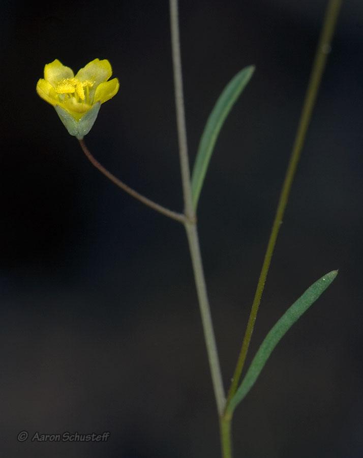 Hesperolinon clevelandii