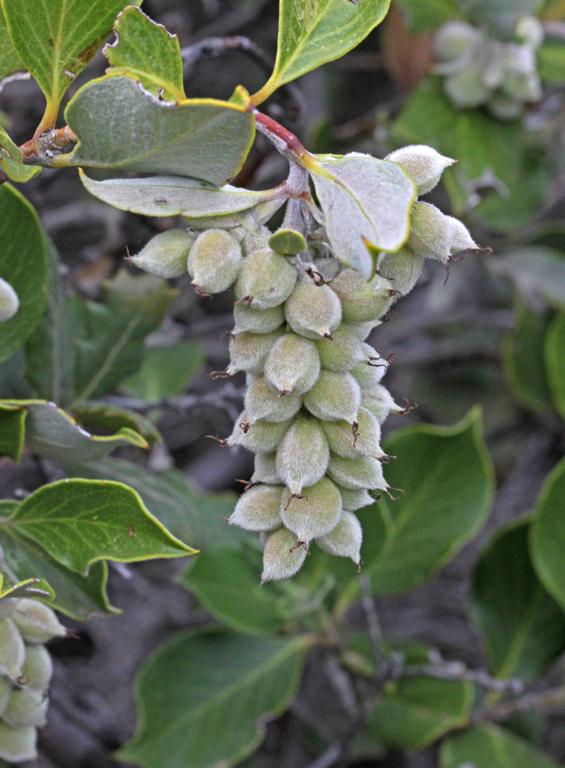 Garrya congdonii