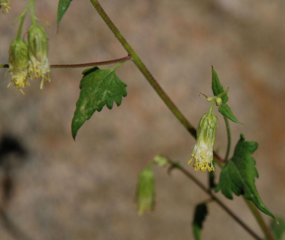 Brickellia grandiflora
