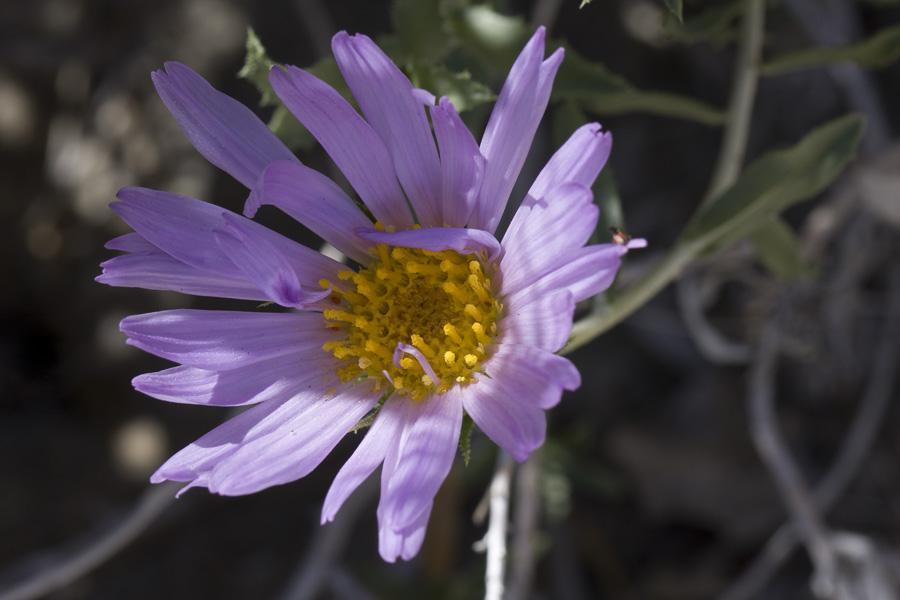 Xylorhiza cognata