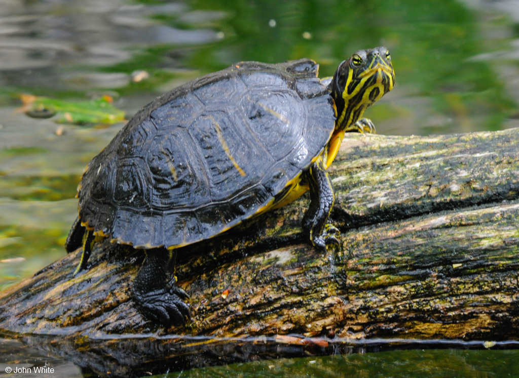 Calphotos trachemys scripta scripta yellow bellied slider for Trachemys scripta