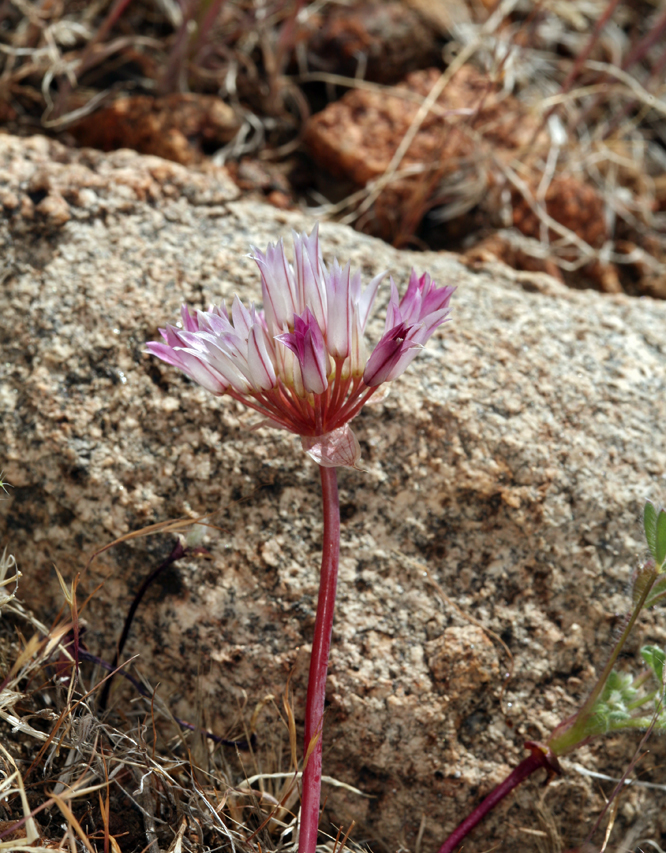 Allium atrorubens var. cristatum
