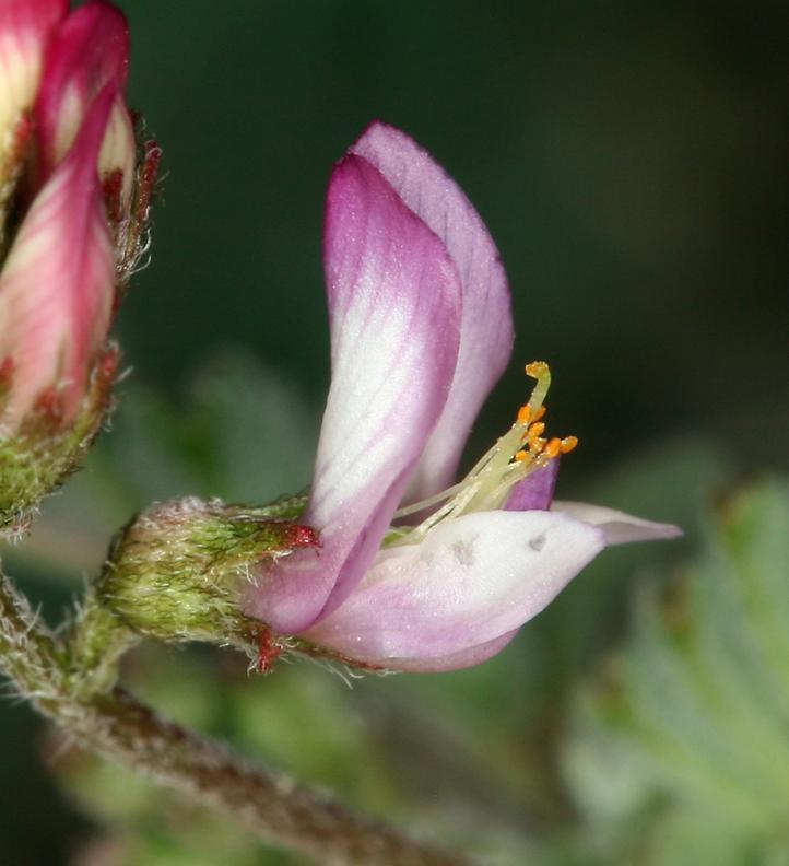 Astragalus acutirostris