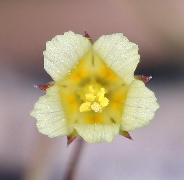 Linanthus filiformis